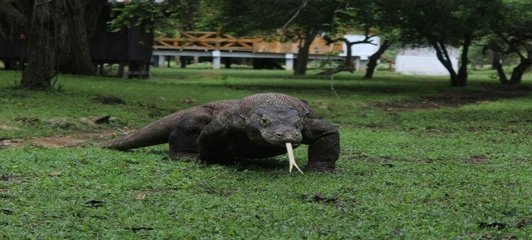 How to visit Komodo Island to see the Dragons